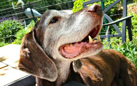 Why Foster or Adopt a Senior Dog?