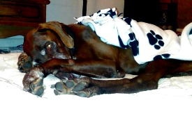 Temp foster home needed ASAP for sweet senior GSP